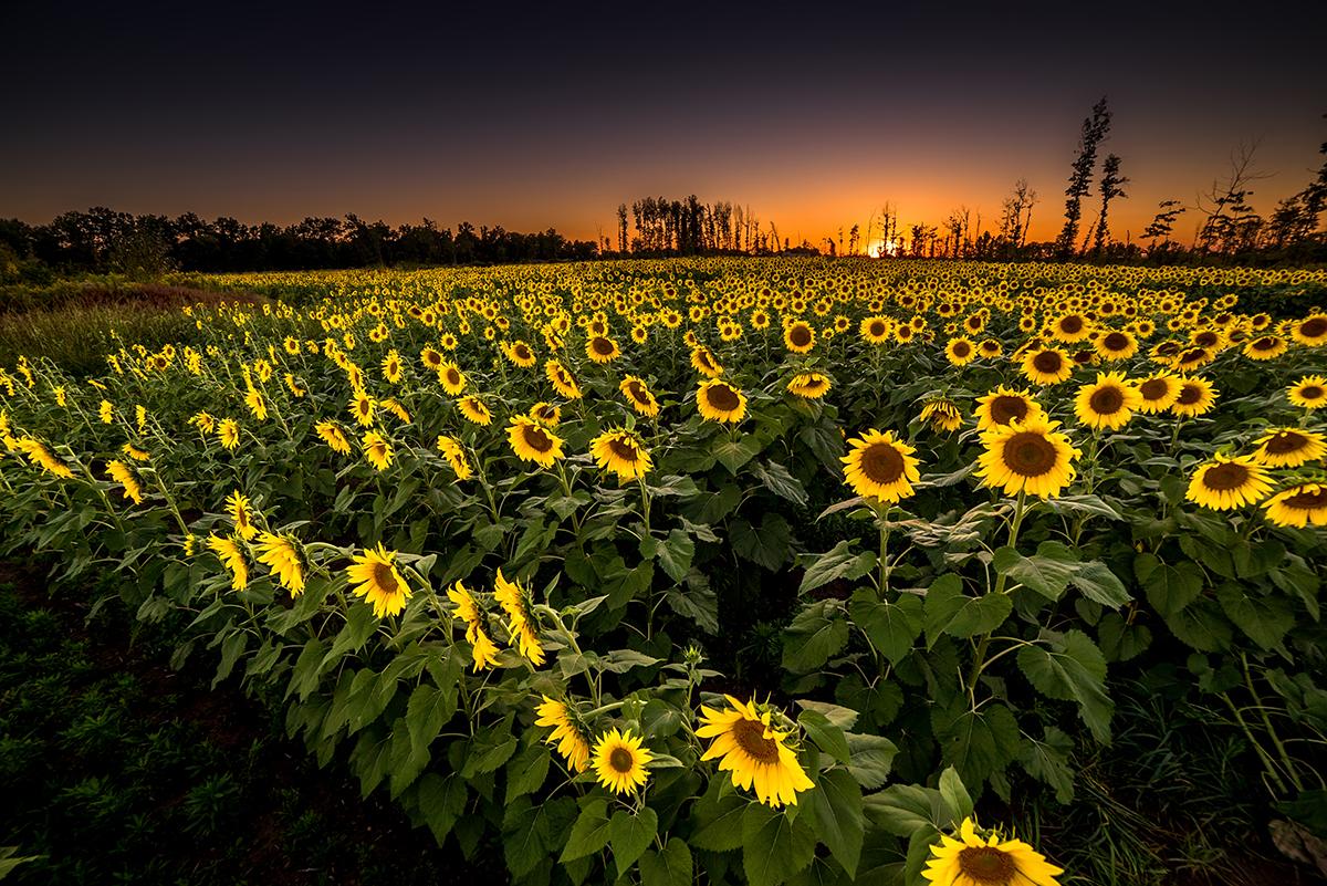 sunflower fields 2 by - photo #9