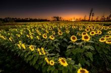 sunflowerfield2num5